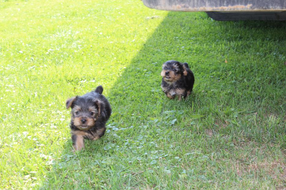 Yorkie Puppies Vancouver Island