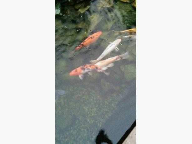 Koi for sale west shore langford colwood metchosin for Local koi fish for sale