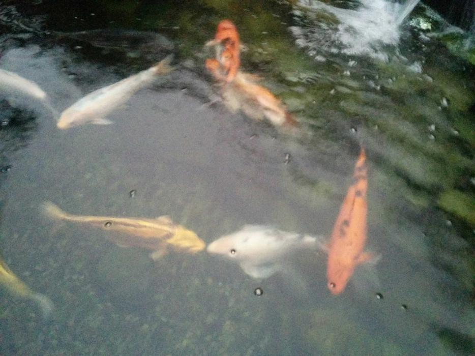 Koi for sale west shore langford colwood metchosin for Koi for sale houston