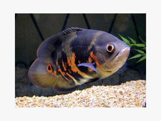 Large oscar tiger fish for sale east regina regina for Large oscar fish for sale