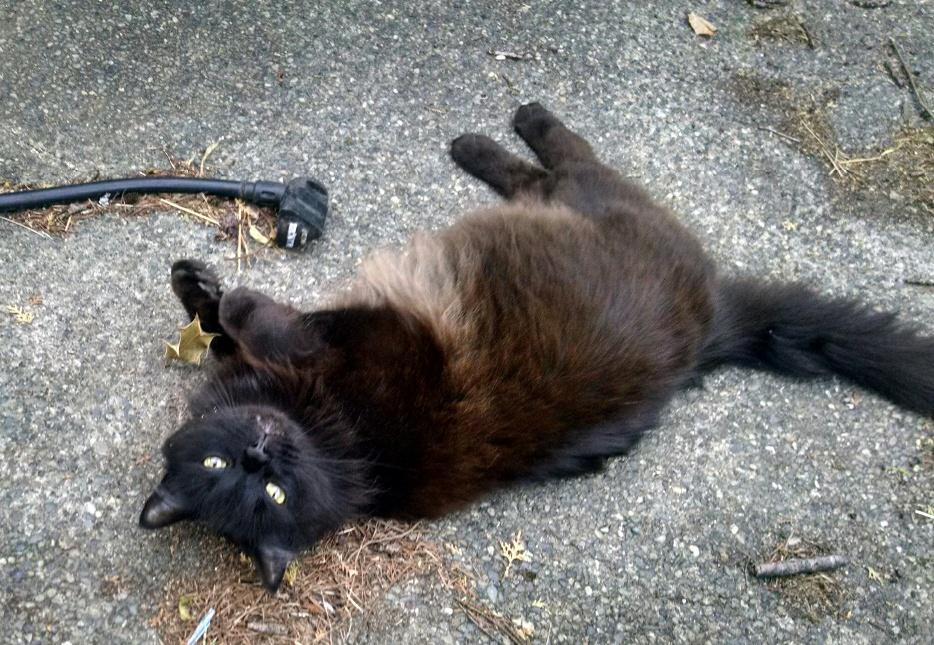 Lost And Found Black Cat Vancouver Bc