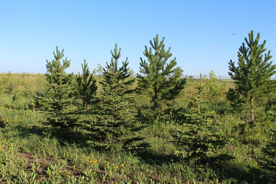 Landscaping Trees Regina : Tree moving service and colorado spruce scotch pine rural regina