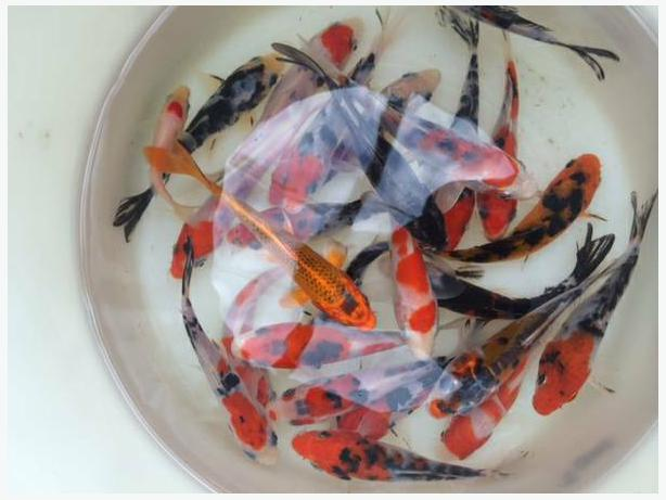 Supreme quality nishikigoi koi fish in vancouver for How much does a koi fish cost