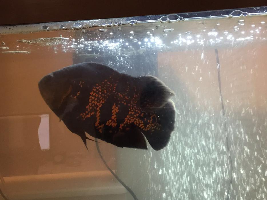 Big oscar tiger fish for sale east regina regina for Large oscar fish for sale