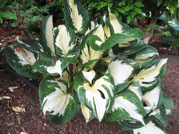 hosta fire and ice saanich victoria. Black Bedroom Furniture Sets. Home Design Ideas