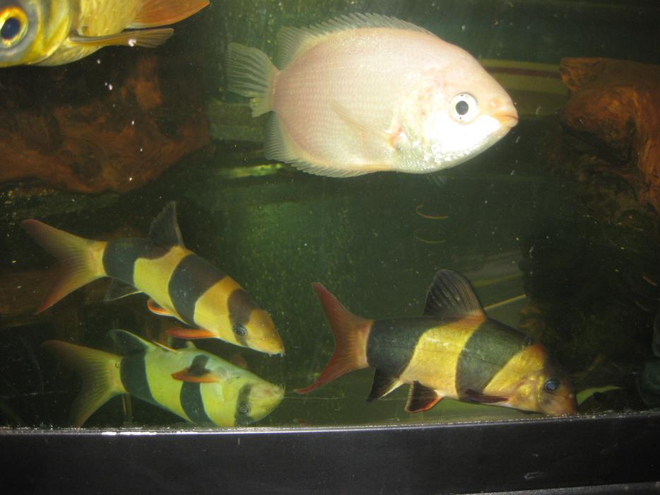 Free extra large pink kissing gourami saanich victoria for Pink kissing fish