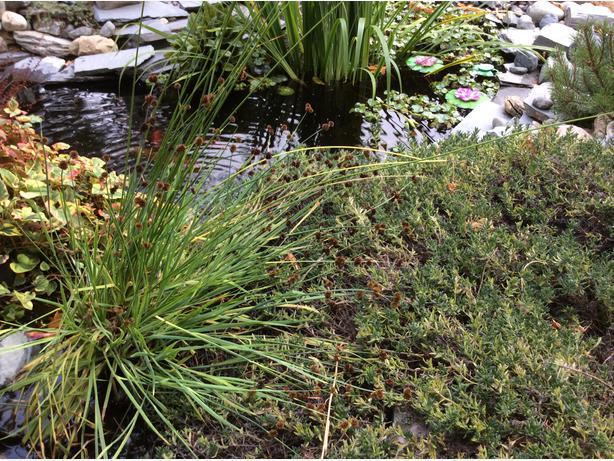 Pond Plants Cedar Nanaimo Mobile