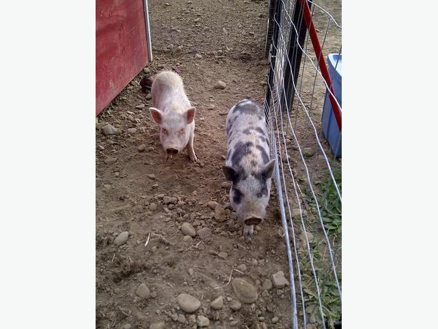 Three Mini Micro Pig Breeders for Sale