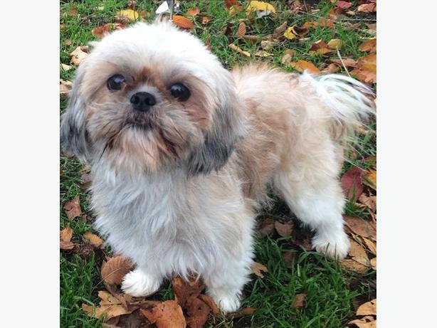 Shih Tzu Dogs In Peterborough Ontario