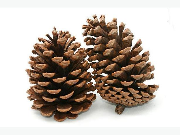 Pine Cones 25 cents each