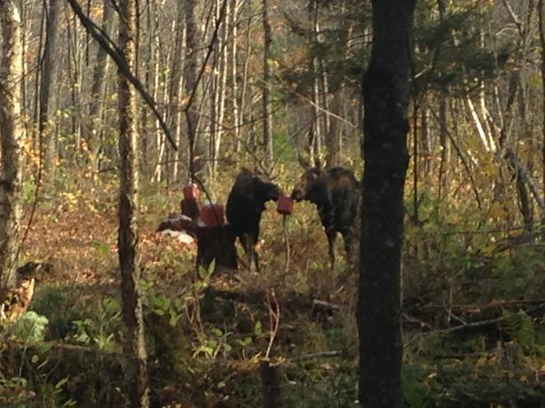 two moose hunting camps zone 13 quebec