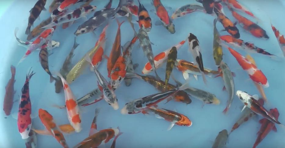 Imported japanese high quality koi for sale outside for Imported koi
