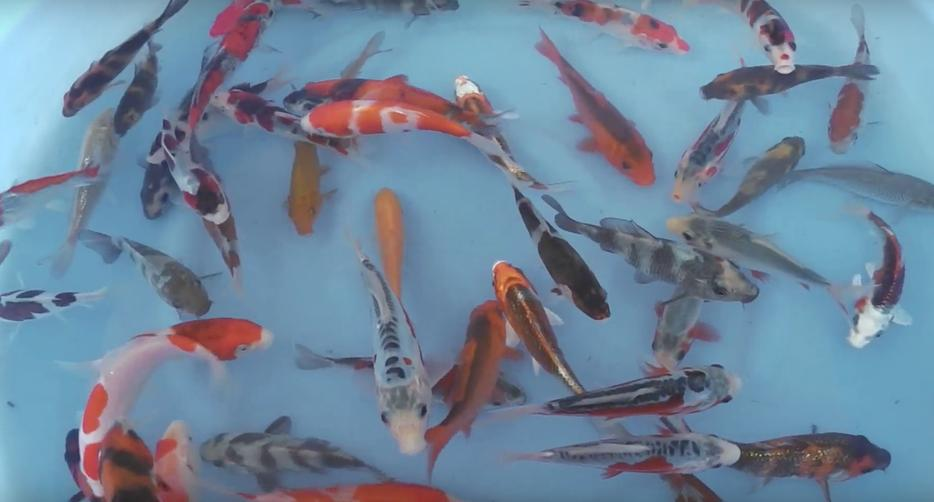 Imported Japanese High Quality Koi For Sale Outside