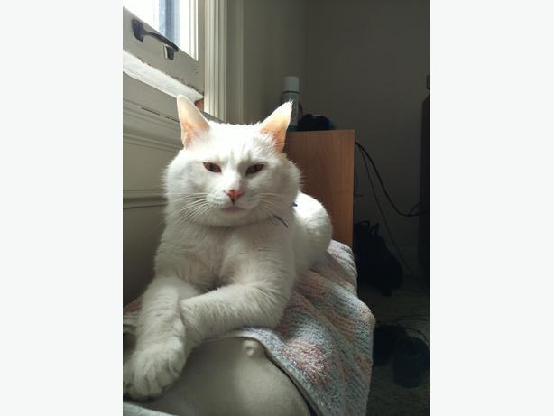 Lost White Cat Ottawa