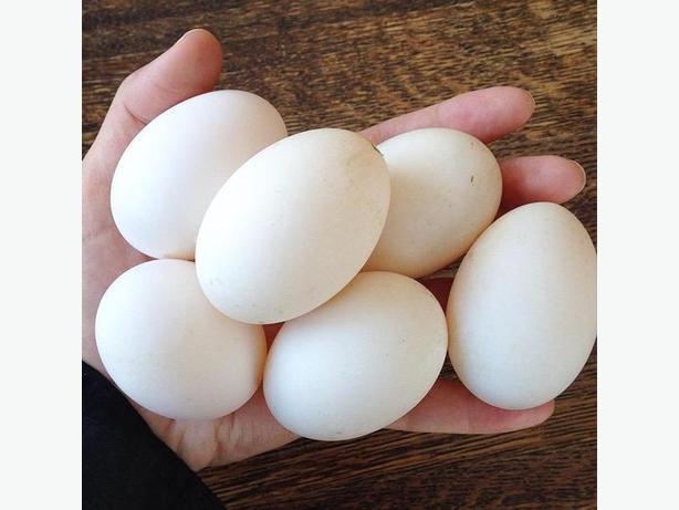 1 Dozen Fresh Khaki Campbell Duck Eggs