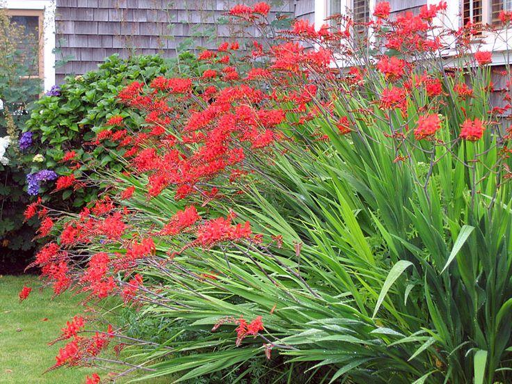 Orange Red Crocosmias 5 For 15 Bulbs Saanich Victoria