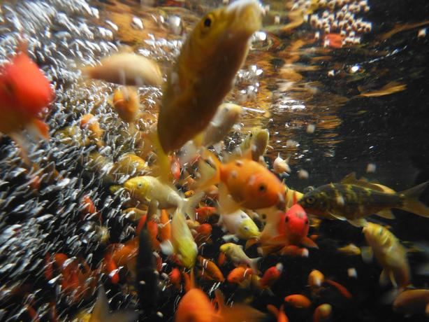 Pond gold fish koi victoria aquaponics victoria city for Koi fish pond kelowna