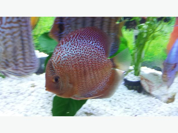 Discus fish for sale nepean ottawa for Discus fish for sale cheap