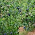 Blueberry Farm - with multi living options in Saanich