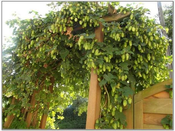 Hops Plants for making beer - several varieties listed below - $15