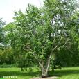 Seeking fruitwood or big leaf maple limbs/chunks and