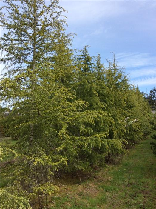 Large specimen trees evergreens many varieties to choose for Specimen evergreen trees small