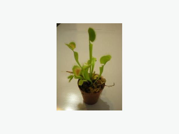 Carnivorous Plants (Venus Flytrap) and Pitcher plants