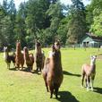 FARM TOURS at Millstream Miniature Llamas