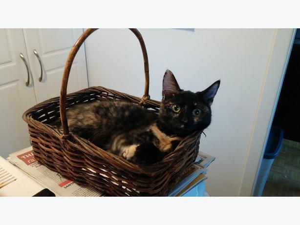 INDOOR CAT MISSING IN CARLETON PLACE