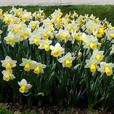 50 White and Yellow Daffodils - express shipping included