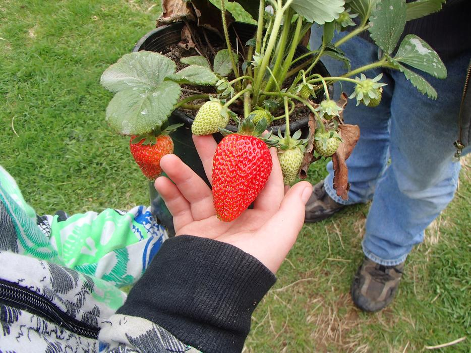 Spring sale organically grown bare root everbearing strawberry plants outside cowichan valley - Plant strawberries spring ...