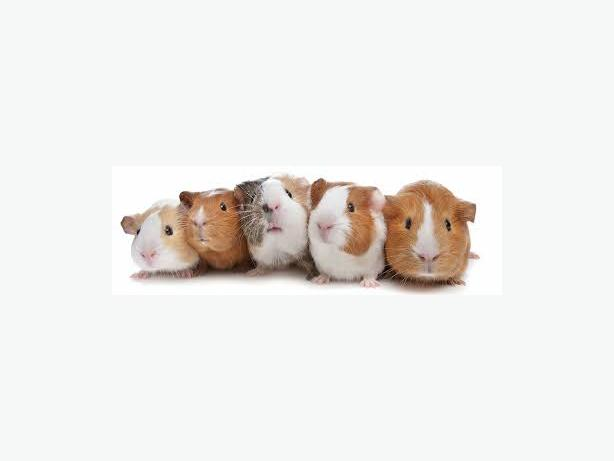 Free guinea pig with the purchase of any cage central for Free guinea pig hutch