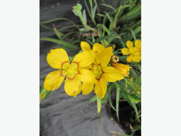 perennial plant