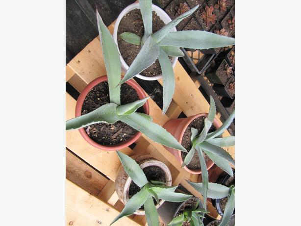 Lg Agave plants