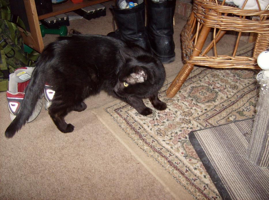 Found Black Cat Calgary