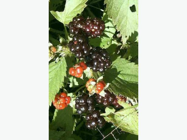 12 Wild Black Raspberry Plants
