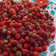 50 Wild Strawberry Plants