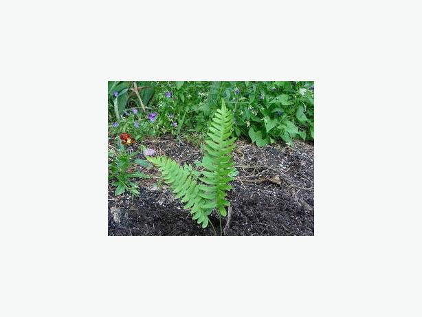 24 Polypody Ferns