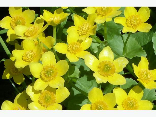 12 Marsh Marigolds - For the Pond