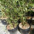Specimen size Black Bamboo