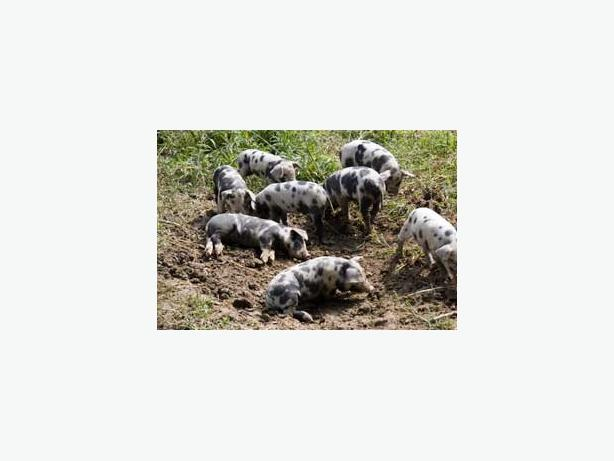Wild Hog Removal