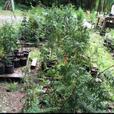 fir, cedar , dwarf spruce, ferns and more !!!!