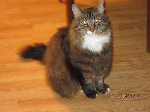 SPAYED MAINE COON CAT...TIPPER