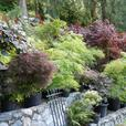 Specimen size  Japanese maples