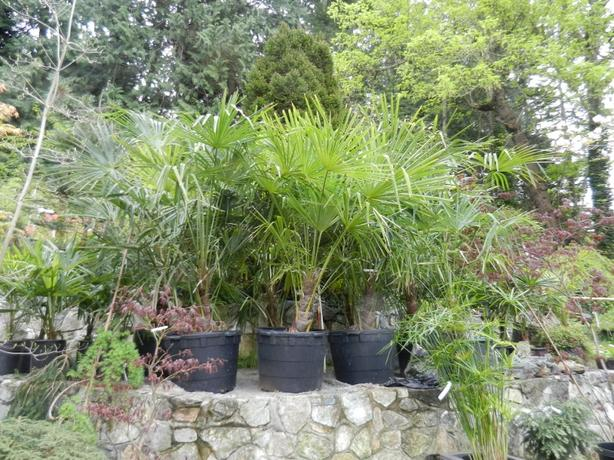 25 gallon size Windmill Palms, Trachycarpus fortunei