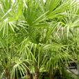 25 gallon size Windmill Palms, Trachycarpus fortunei