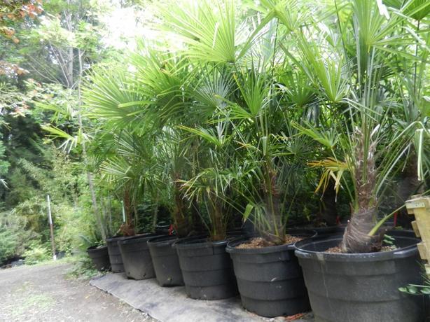 45 gallon size Windmill Palm, Trachycarpus fortunei