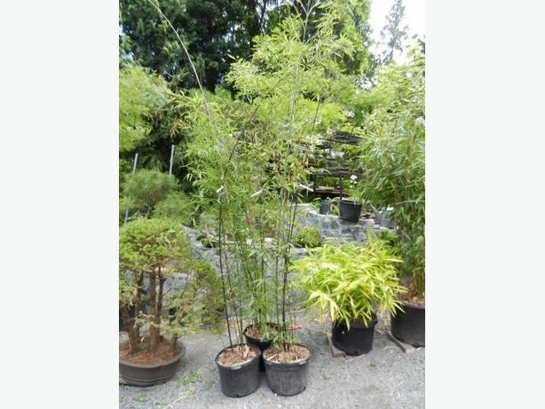 7gallon pot size Black Bamboo (Phyllostachys nigra