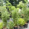 15 gallon size Fargesia robusta Wolong clumping Bamboo