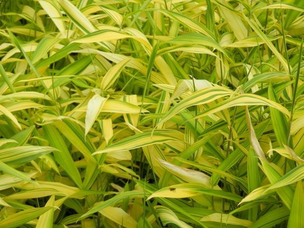 5 gallon size Pleioblastus viridis striatus